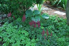"""'Vision in Red' Astilbe.  Astilbe chinensis 'Vision in Red'. Planted in Southeast edge of garden Spring, 2014. Foliage is rich green and coarse textured. Mid-summer bears a multitude of dense plumes of deep red-budded pinkish-red sweetly scented flowers. Light to moderate shade. 15"""" tall; 2' in flower. Hardiness zone 4. Deer resistant; attracts butterflies."""