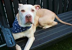 ZIPPER - A1117349 - - Manhattan  TO BE DESTROYED 07/07/17 A volunteer writes: Cute as a button and wrapped in a bow, 7 year-old Zipper has a face that only everyone and their mother could love. From the moment I lock eyes with this soft and gentle soul…sorry. I've just lost my train of thought. For that's precisely how mesmerizing those amber eyes can be. And should one believe that eyes are in fact the windows to the soul, well, Zipper's soul is shi