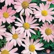 Tanacetum coccineum 'Eileen May Robinson' (Pyrethrum 'Eileen May Robinson') Click image to learn more, add to your lists and get care advice reminders each month.