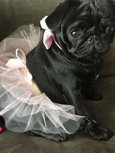 Stunning hand crafted pug accessories and jewelery available at Paws Passion Shop! Show your pug puppy how much you love them by wearing our merchandise! Cute Pug Puppies, Black Pug Puppies, Cute Dogs, Cute Baby Pugs, Lab Puppies, Bulldog Puppies, Doggies, Cute Baby Animals, Funny Animals