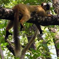 Red-fronted brown lemur is widely distributed in the dry deciduous forests of western Madagascar, where it feeds on flowers, leaves, seed pods, fruit, insects, and bark.
