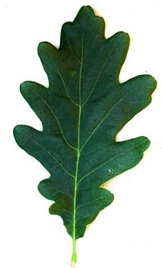 Oak leaf / 5 to 7 wavy lobes on each side of the leaf