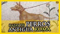 Razas de PERROS en la ANTIGUA ROMA | Historias de la Historia