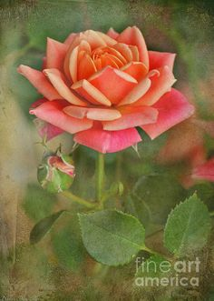 ALL OF MY PERSONAL ART SHOWN HERE PLUS MUCH, MUCH MORE IS FOR SALE AT debbie-portwood.a... THANKS FOR VIEWING, HOPE YOU ENJOY.  Peach and Pink Rose in full bloom