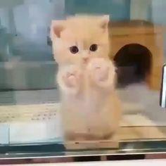 exploring adorable dancing kittens kitten kitty cute cats cat so Adorable Kitten Dancing Exploring So CuteAdorable Kitten Dancing Exploring So Cute Cute Baby Cats, Cute Little Animals, Cute Cats And Kittens, Cute Funny Animals, Kittens Cutest, Cute Babies, Funny Cats, Cats Humor, Fluffy Kittens