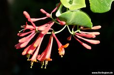 #Jelängerjelieber #Gartengeißblatt #Lonicera caprifolium http://www.florilegium.de/blog/pflanzen/blumen-im-garten/jelaengerjelieber-oder-auch-gartengeissblatt-lonicera-caprifolium.html