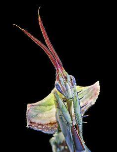 Idolomantis diabolica aka Devil's Flower Mantis or Giant Devil's Flower Mantis | The Dancing Rest http://thedancingrest.com/2015/03/11/idolomantis-diabolica-aka-devils-flower-mantis-or-giant-devils-flower-mantis/