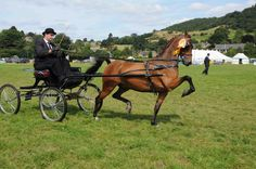 Hackney   Welcome - Hackney Horse Society