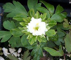 Show details for Anemone nemorosa 'Bracteata Pleniflora'