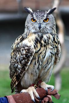 Chapter 6: Ares is a Eurasian Eagle Owl, mainly because I liked the way they looked more than the regular ones- whose ear tufts were shorter.