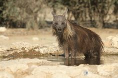 Brown Hyena by Rute Martins on 500px