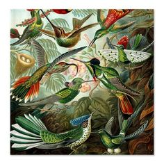 A beautiful Botanical art print illustrated by Ernst Haeckel - Hummingbird - Art Forms of Nature (Kunstformen der Natur) size: x or x - Epson archival matte paper size: x or x - Epson archival matte paper size: x or x Ernst Haeckel, Canvas Art, Canvas Prints, Art Prints, Vintage Shower Curtains, Natural Form Art, By Any Means Necessary, Thing 1, Colorful Birds