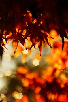 Autumn leaves in and out of focus Autumn Day, Autumn Trees, Autumn Leaves, Autumn Harvest, Hello Autumn, Autumn Scenery, Golden Leaves, Maple Leaves, Winter