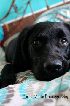 Super cute! Black Labrador named Jaylee