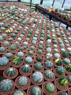 piccoli cactus in vaso Succulent Wall, Succulent Gardening, Cacti And Succulents, Planting Succulents, Cactus Plants, Planting Flowers, Small Cactus, Cactus Flower, Agaves