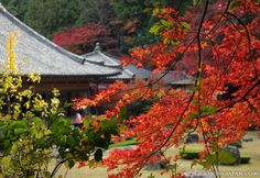 Autumn leaves in a shrine in Yamaguchi City (Yamaguchi Prefecture) in November 2009.
