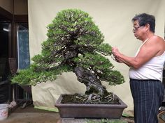 The master, Kunio Kobayashi, at work on a great pine Bonsai. #bonsai #japan www.bonsaiempire.com