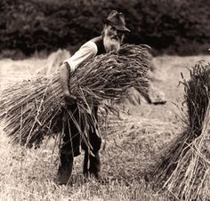 A farm labourer carrying hay to add to a stook, 1900-1930. #FarmingLife Iceni Post