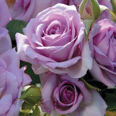 Enchanted Evening Floribunda Rose - Bareroot at Jackson and Perkins Perfume Glamour, Perfume Hermes, Perfume Versace, Floribunda Roses, Shrub Roses, Fragrant Roses, Lavender Roses, Lavender Color, Yellow Roses