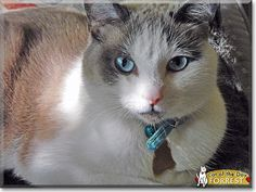 Read Forrest the Siamese mix's story from Chicago, Illinois and see his photos at Cat of the Day http://CatoftheDay.com/archive/2013/August/15.html .