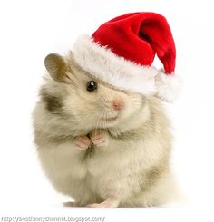 This itty bitty hamster is just so excited for Christmas! He loves his lovely Santa hat, and we love how cute he looks wearing it! Funny Animal Pictures, Funny Animals, Cute Animals, Christmas Animals, Christmas Humor, Merry Christmas, Christmas Sayings, Christmas Pets, Christmas Time