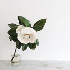 Pretty magnolia bloom stem in a clear glass vase. Minimal pretty flower arrangement for a wedding reception, shower or party. My Flower, White Flowers, Beautiful Flowers, Ikebana, Yucca, Belle Plante, Calathea, Arte Floral, Ficus
