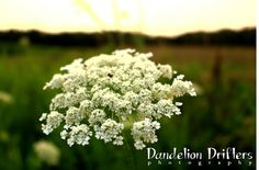 Queen Anne's Lace Wildflower at Sunset by DandelionDrifters, $5.00