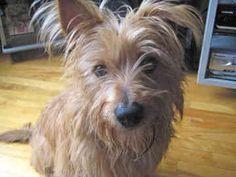 Australian Terrier | australian-terrier-0024.jpg