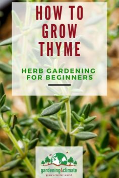 Thyme is a delicious herb at can't be missing from your herb garden! Learn how to grow this herb in your garden or in containers. #gardening #gardeningtips #permaculture  #homesteadgarden #organicgardening #homesteading #urbangardening #vegetablegardening #growingfood #gardening4climate #gardeningforclimate #herbs #herbgardening Grow Organic, Organic Herbs, Natural Herbs, Organic Gardening, Gardening For Beginners, Gardening Tips, Herbs Indoors, Growing Herbs