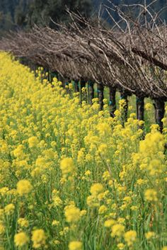 Mustard flowers in Napa