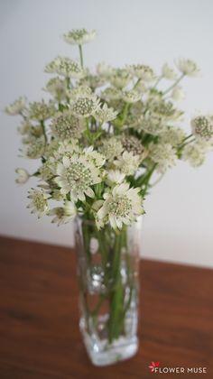 White Astrantia in Vase