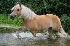 Had one of these...Halflinger...had to sell him because he kept kicking my other horses!