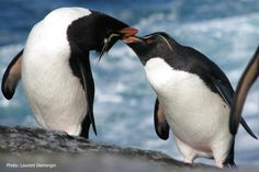 Rockhopper Penguin | Penguin, Eudyptes (chrysocome) chrysocome; Eastern Rockhopper Penguin ...