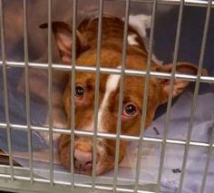 MOLLY aka AURORA – A1077917  FEMALE, BROWN, PIT BULL MIX, 2 yrs STRAY – PRE RTO, HOLD FOR RTO Reason STRAY Intake condition UNSPECIFIE Intake Date 06/18/2016, From NY 11249, DueOut Date06/21/2016