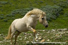 Cloud, the icon stallion on Pryor Mountain. In southern Montana, just across the Wyoming border lies the Pryor Mountain Wild Horse Range. The 38,000 acre range was established in 1968 by the US federal