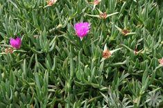 Image result for Lampranthus emarginatus