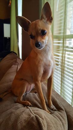 103 Best Twinkles The Deer Head Chihuahua Images In 2019 Twinkle