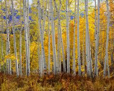 Rodney Lough Jr Wilderness Collections The Glory of God's Light 1000 Piece Puzzle Aspen Trees, Birch Trees, Landscape Photography, Art Photography, Tree Canopy, Light Images, Walk In The Woods, Eye Art, Nature Photos