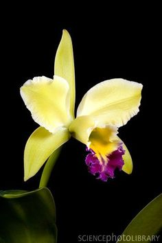 Orchid (Cattleya sp.)