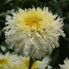 Leucanthemum x superbum 'Gold Rush' (Shasta Daisy) Gallon