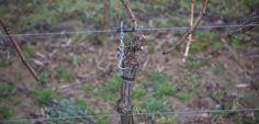 Weinberge im Winter. Rebschnitt am Jahresanfang startet die Weinsaison. | #wine_passion