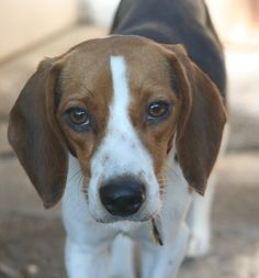 ~ Gypsy ~  Please share our photos and visit our website to see all of our adoptable beagles.