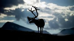 Best known for their role in helping Santa Claus fly around the world on Christmas Eve, here are the best places to see real reindeer all year round.
