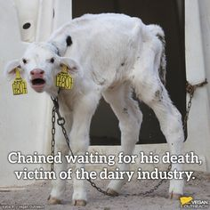 help end this heart breaking cruelty by not financing dairy and choosing plant-based milks