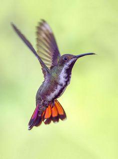 Female Black Throated Mango Hummingbird. Trinidad - pedro lastra