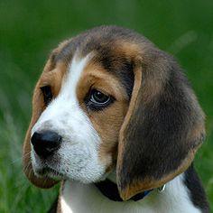 Beagle pensativo...