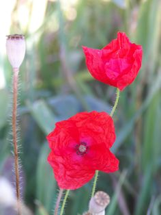 Poppies. Flower Photography, Meadow, Wild flowers, summer