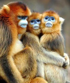 Golden snub nosed monkey by Floridapfe - Pixdaus