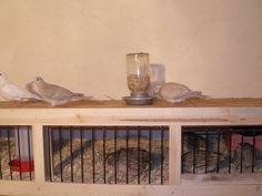 "http://www.backyardchickens.com/forum/uploads/18621_chicken_house_018.jpg   10"" HEIGHT REQUIRED FOR COTURNIX QUAIL"