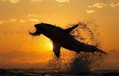 un tiburón saltando fuera del agua, con una presa en la boca y con el sol de fondo